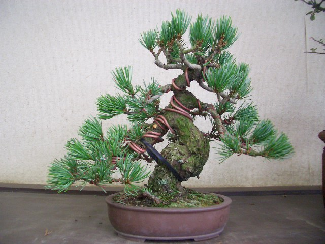 step by step guide to grow bonsai at home classi blogger Bonsai Wire Sizes bonsai wiring tips