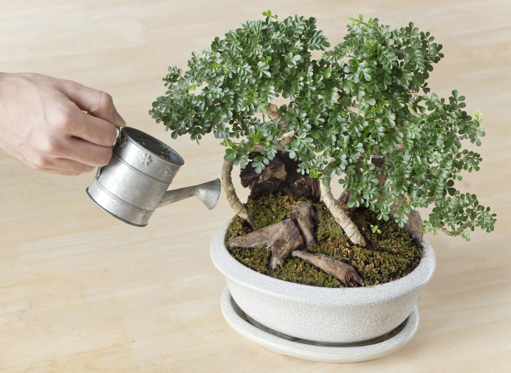 Step by step guide to grow bonsai at home classi blogger for How to make an olive tree into a bonsai