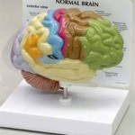 amazing facts about brain_classiblogger_feature_image