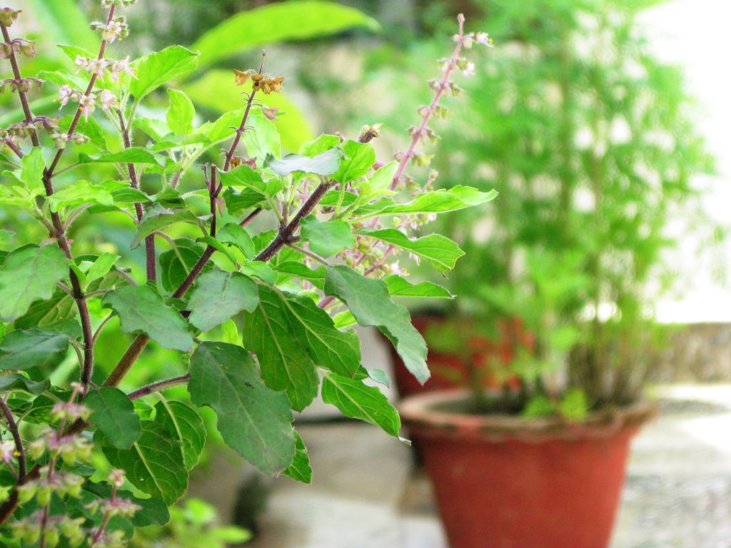 Interesting Facts and Benefits about Tulsi