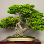 step-by-step-guide-to-grow-bonsai-at-home-bonsai-tips-classiblogger