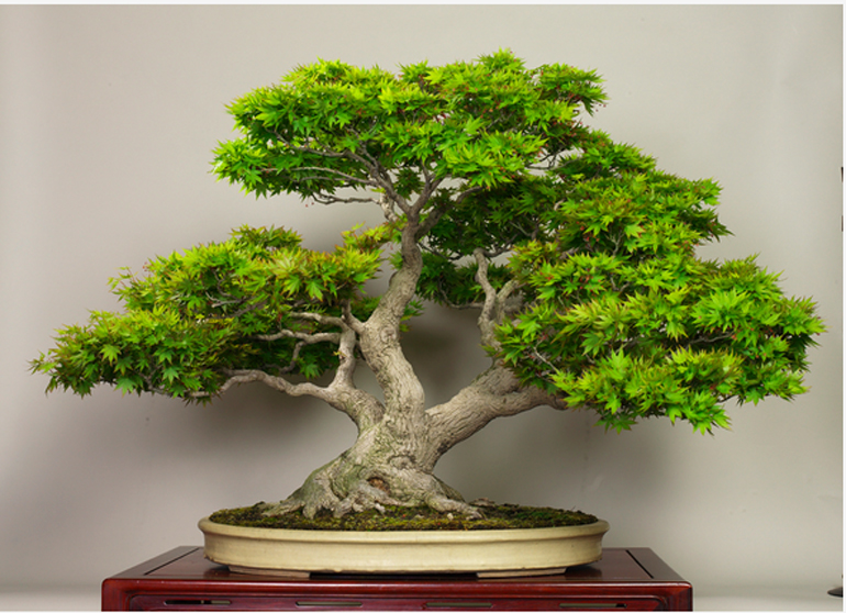 Step by Step guide to Grow Bonsai at Home