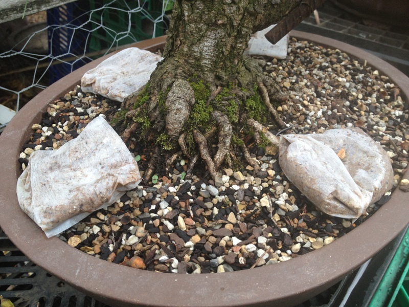 step-by-step-guide-to-grow-bonsai-at-home-bonsai-tips-how-to-fertilize-bonsai-trees-classiblogger