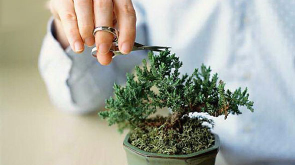 step-by-step-guide-to-grow-bonsai-at-home-bonsai-tips-how-to-prune-bonsai-trees-classiblogger